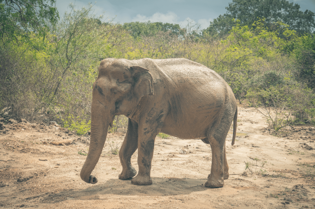Elephant faced sideways with his trunk held down at Yala national park Sri Lanka