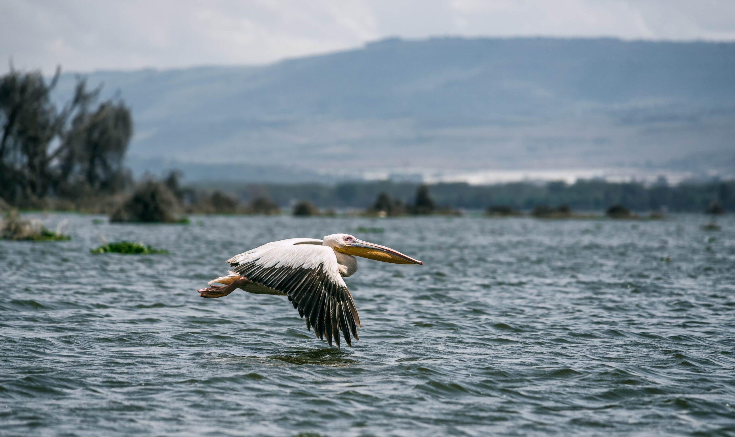 White Pelican Flying in Kenya