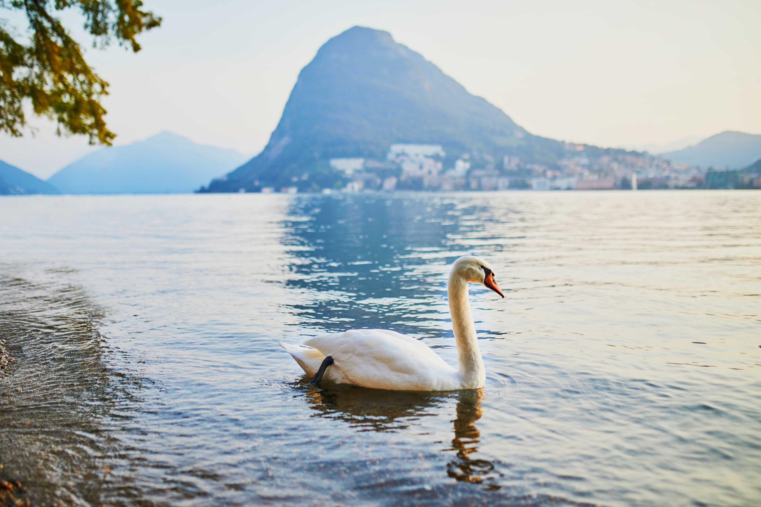 A Swan swimming on the Lugano Lake